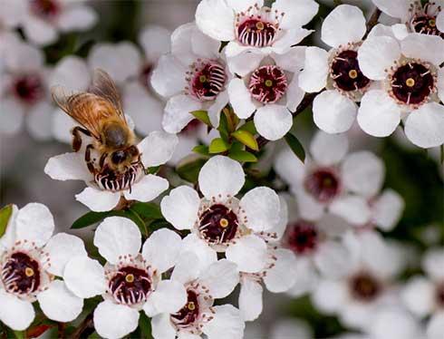 마누카 꿀 등급 효능 – 뉴질랜드 꿀 MGO UMF 비교